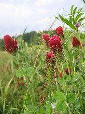 400+ semillas de Trifolium incarnatum-inkarnatklee blutklee rosenklee
