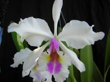 "Cattleya warscewiczii semi-alba Fragrant 7-11"" flowers Bloom Size"