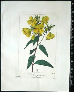 Bessa,P.Flore des Jardiniers,Oenothera fruticosa,hand col.Engraving,c.1836