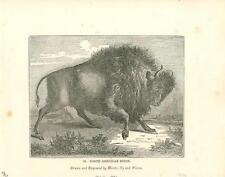 alte Grafik Druck Stich, USA Bison von 1835 #E807