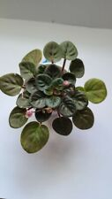 "African violet  ""Optimara's Rose Quart"" (actual plant) semiminiature"