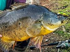 Jacks Lure Barra Murray Cod Redfin Trout Tailor Perch Flathead Yellowbelly Bass