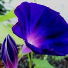 20+ MORNING GLORY VINE STAR OF YELTA,  IPOMOEA / BUTTERFLY MAGNET  FLOWER SEEDS