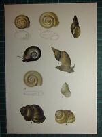 Vintage Natural Historia Estampado ~ Varios Especies Caracoles Conchas