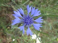 Centaurea cyanus KORNBLUME über 200 Samen WILDPFLANZE