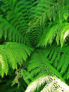 Tree fern spore Dicksonia antarctica