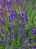 Lavender English (Lavandula Angustifolia - Vera)-100 Seeds-