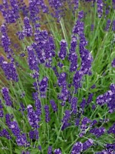 Lavender English (Lavandula Angustifolia - Vera)-100 Seeds-