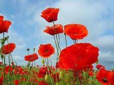 Field Poppy, Papaver rhoeas 1g Approx 8000 seeds