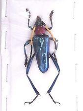Escarabajo cerambycidae