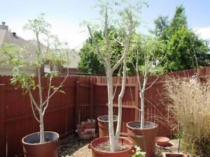 MORINGA OLEIFERA SEEDS! Miracle tree! Fresh GROWING seeds Indoor plant Dwarf