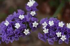 50 Purple Statice / Sea Lavender Limonium Sinuatum Flower Seeds *Comb S/H + Gift