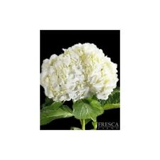 Premium White Hydrangea / 20 stems / Grower Direct / Quality Guaranteed