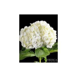 Premium White Hydrangea / 20 stems / Grower Direct / Quality Guaranteed