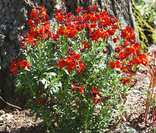WALLFLOWER ENGLISH Cheiranthus Cheiri - 500 Seeds
