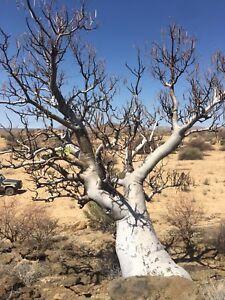 RARE MORINGA OVALIFOLIA - 5 seeds, Organic sustainable, NON GMO from Namibia