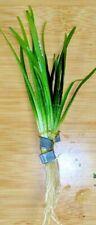 Weighted Bunch Dwarf Sagittaria Plant Live Aquarium Plants Ribbon Wapato