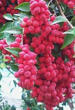 RIBERRY,CHERRY SATINASH,fruit tree,bush tucker,jam,Syzygium luehmannii,spice