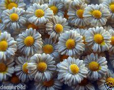 50x DAISIES  daisy  edible sugar flower cupcake topper @2cm Kamille Camomille