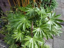 Fatsia japonica 50 seeds