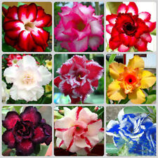5pcs Desert Rose Seeds Adenium obésité fleur bonsaï arbre plante Decor jardin