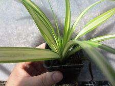 """1 Plant 10"""" Variegated Pandanus Pandan Baptistii Screw Pine Tropical Collector"""
