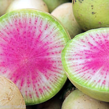 Watermelon Radish Heirloom Seeds- Non-GMO - Untreated - Open Pollinated!