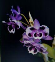 Dendrobium parishii fma. trilabelo (peloric form)