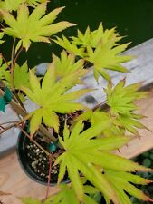 Autumn Moon Japanese Maple perfect for Bonsai or garden 30 inches tall