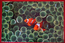 Clown Fish Pair in Anemone Widlife Aquatic Ocean Sea Picture Poster 24X36 Nemo