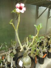 Adenium obesum Pon tewa  - Wüstenrose 50 cm Pflanze