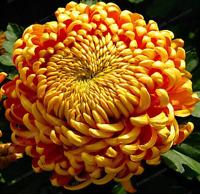 Chrysanthemum Bonsai 200 PCS Seeds Rare Flowers Garden Potted Plants Softcover X