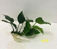 Anubias barteri 'broad leaf' L013 Loose Plant ~ BUY 2 GET 1 FREE/ Free Shipping