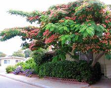 Pink Mimosa - ALBIZIA JULIBRISSIN - 9 Seeds - Trees