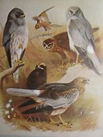 Stampa Fauna Selvatica ~ Montagu Harrier Marsh Gallina Harrier ~ Thornburn
