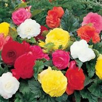Begonia- Mixed colors- 25 Seeds