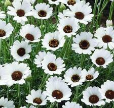 Rhodanthemum Casablanca (Moroccan Daisy) Perennial Plug Plants Pack x6