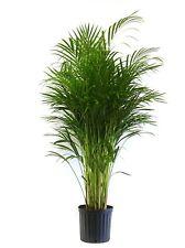 Delray Plants Butterfly Palm Areca in Pot