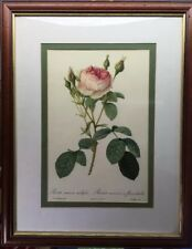 Beautiful Vintage Print Of Summer English Country Rose (Rosa Muscosa Multiplex)