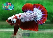 LIVE BETTA FISH MALE RED FANCY HELLBOY DEVIL OVER D TAIL HMPK (PKH4)