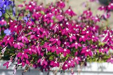 200 Red Crimson Fountain Lobelia Erinus Flower Seeds + Gift & Comb S/H