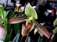 a  growths(plants) Paphiopedilum  wardii  BLOOM SIZE