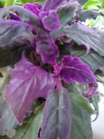 "RARE Purple Passion plant (Gynura Aurantiaca) purple velvet LIVE plant in 4"" Pot"