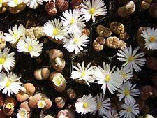 Lithops karasmontana vivos piedras semillas grano 200 los lotes derecho tipo