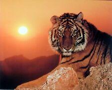 Wild Tiger At Sunset Wildlife Animal Wall Decor Art Print Poster (16x20)
