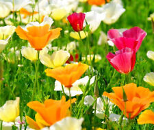 CALIFORNIA POPPY MIXED COLORS Eschscholzia Californica - 15,000 Bulk Seeds