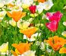 CALIFORNIA POPPY MIXED COLORS Eschscholzia Californica - 15,000 Bulk Seeds