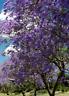 Paulownia tomentosa, Empress Foxglove, kiri   350 semillas frescas