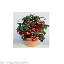 50 Tiny Tim Miniature Tomato plant seeds .HEIRLOOM. SAME DAY SHIPPING