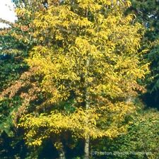 Gleditsia Triac Sunburst Honey Lucust